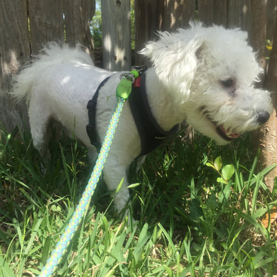 Puppia is a great harness for small dogs in Austin